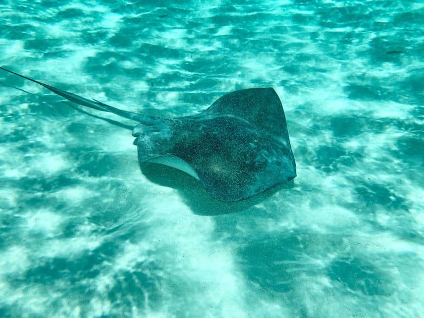 Natural beaches in Cozumel Mexico - Stingray close to the beach
