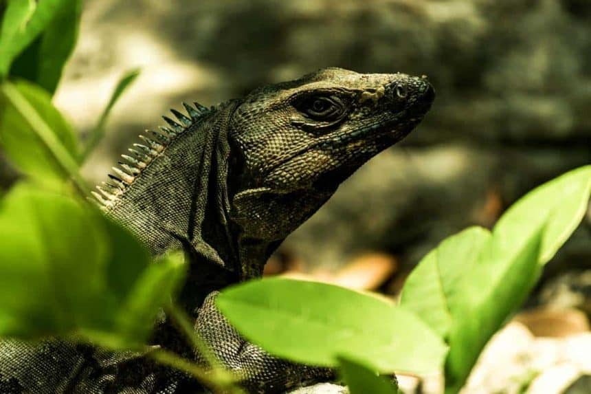 Tulum, Quintana Roo, Mexico - Wildlife: Iguanas can be seen very often