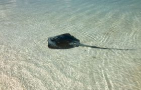 Manta ray in shallow waters