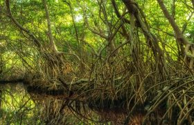 Mangrove forest in Sian Kaan, Mexico