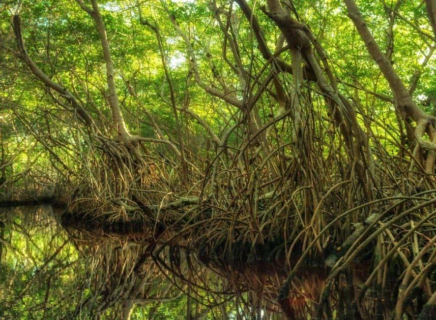 Mangrovenwald in Sian Kaan, Mexiko