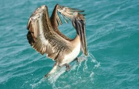 Birdwatching: Pelican on Island Holbox, Mexico