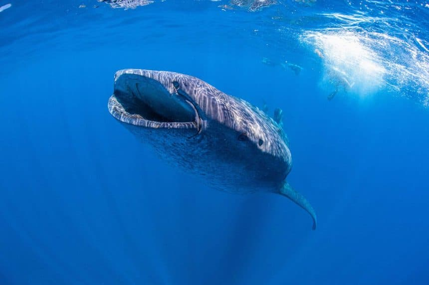 Whale shark in the blue sea at Island Holbox in Mexico